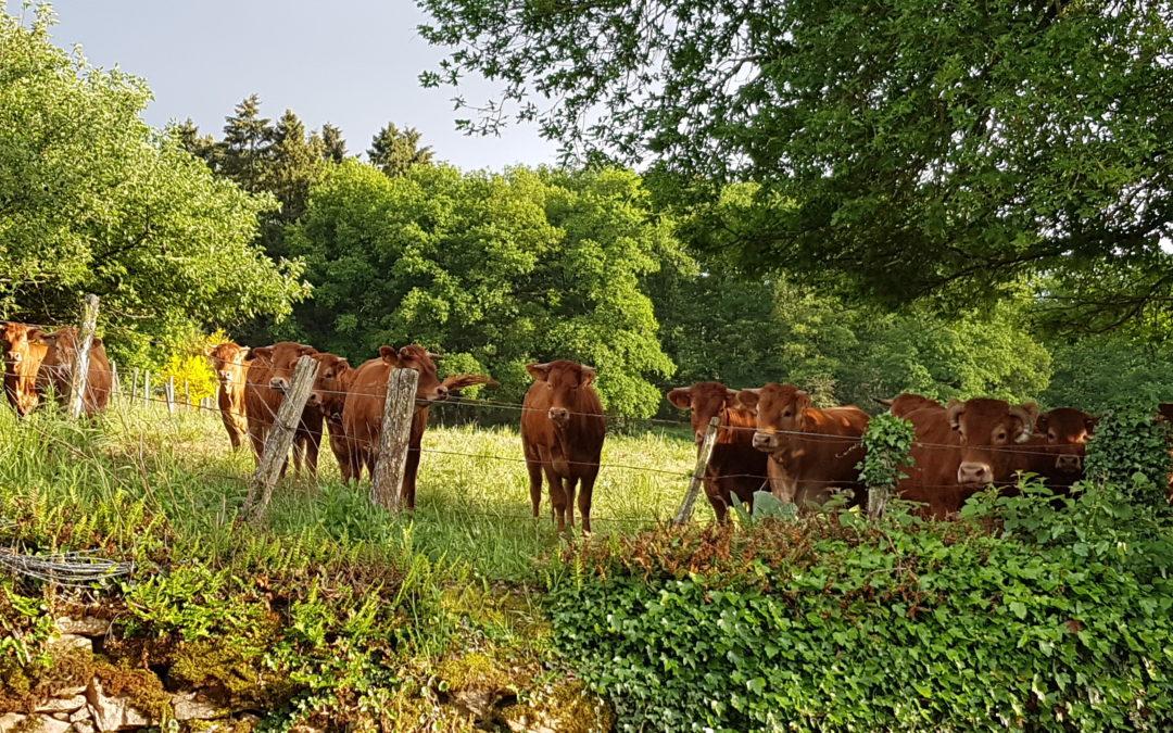 Notification de Limousin Promotion : Evolution des exigences des cahiers des charges pour les éleveurs engagés en Bœuf Limousin, en Limousin Junior ou en Veau Du Limousin Elevé Sous la Mère