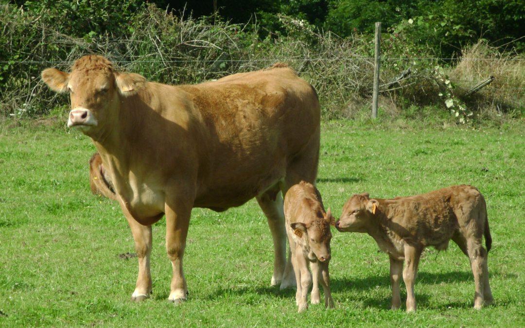 Synchronisation des chaleurs chez les vaches allaitantes